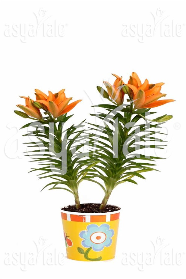 Orange Lily Planted 24 pieces