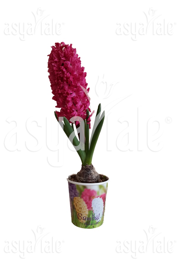 XXL Hyacinth in Pots Pink