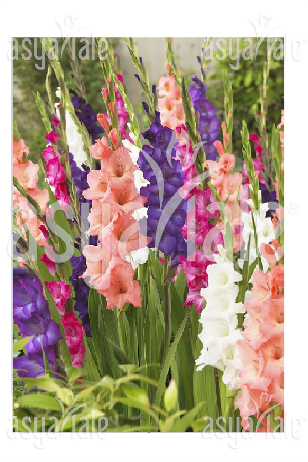 Mixed Color Gladiolus
